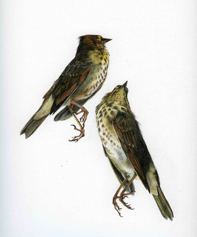 Susan Friesen birds coloured pencils